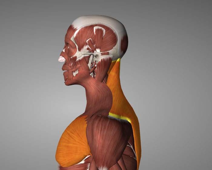 muscles prone to tightness due to poor posture