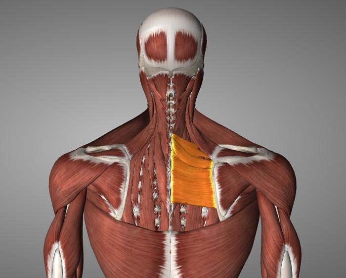 rhomboid muscle prone to weakness due to poor posture
