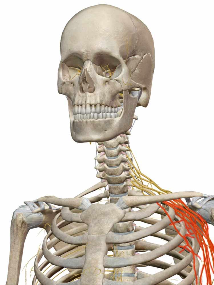 brachial plexus stinger location of pain