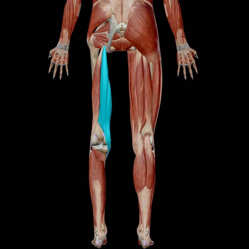semimembranosis & semitendinosus muscle